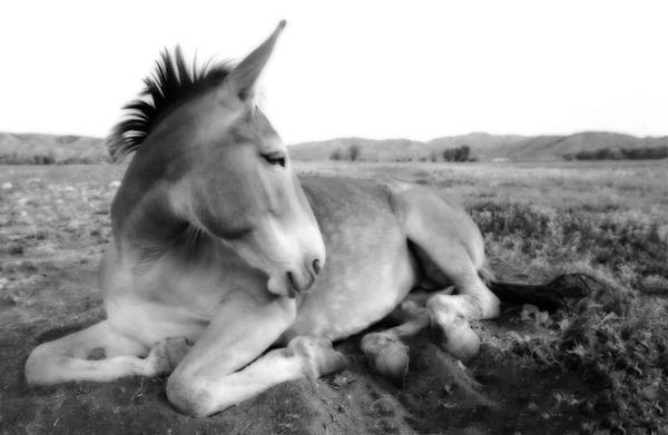 Moscow Mule. Otro tipo de mula de Moscú.