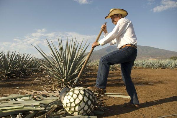 Jimador o agricultor de agave obteniendo la piña de agave.